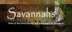 F1, F2, F3, F4, & F5 Savannah Cats for Sale - Kitten Breeders TX   Majestic Savannahs