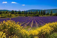 Lavender Fields, Lavender Flowers, Beautiful Nature Wallpaper, Beautiful Landscapes, Nature Paintings, Landscape Paintings, Lavender Aesthetic, Provence France, Nature Images