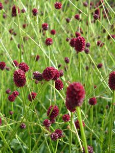 Sanguisorba officinalis 'Tanna' - Purpur-Wiesenknopf
