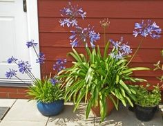 Care For Agapanthus In Pots ? Tips On Planting Agapanthus In Containers