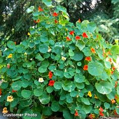 Nasturtium- Plant near tomatoes to improve taste. Repels white flies and spider mites