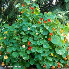Nasturtium- Plant near tomatoes to improve taste. Repels white flies and spider mites