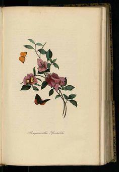 214246 Bougainvillea spectabilis Willd. / Bernard, P., Couailhac, L., Le jardin des plantes, (1842)