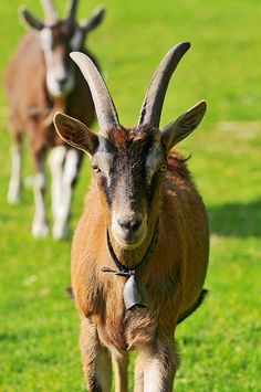 Goats walking towards me
