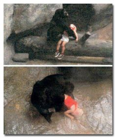 Binti Jua,the gorilla who saved a 3 yr old boy that climbed the wall around her zoo enclosure fell 18 feet onto concrete below,rendering him unconscious with a broken hand a vicious gash on the side of his face.Binti walked to the boy while helpless spec Gato Animal, Vida Animal, Beautiful Creatures, Animals Beautiful, Cute Animals, Primates, Jurrassic Park, Brookfield Zoo, Brookfield Illinois