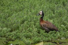 Iguaza común,  White Faced Whistling Duck