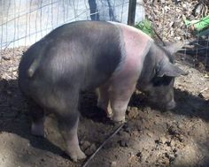 Own a pig