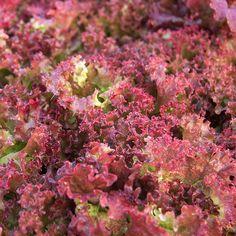 Colorful Leaf Lettuce