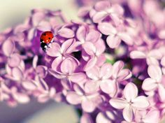Fresh cut lilacs and ladybug.