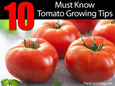 Tips on growing Tomato