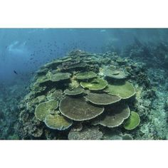Healthy reef-building corals thrive in Komodo National Park Indonesia Canvas Art - Ethan DanielsStocktrek Images (17 x 12)