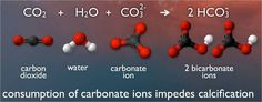 When carbon dioxide dissolves in ocean water, a process begins that uses up carbonate molecules. So more carbon dioxide means less carbonates for shell building by swimming snails and other creatures. Ocean Acidification, Fluid And Electrolytes, Colleges In Florida, University Of Sydney, Shell Shock, Calcium Carbonate, Science Fair Projects, Greenhouse Gases, Marine Life