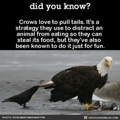 Omg a crow is my spirit animal! Animals And Pets, Funny Animals, Cute Animals, Funny Birds, Amazing Animals, Carlin, Crows Ravens, Wtf Fun Facts, Random Facts
