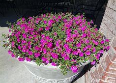 A Petunia integrifolia e uma herbácea pertence à família Solanaceae, nativa da América do Sul, ramificada, de 20 a 40 cm de altura, perene. Folhas pequenas, Diy Garden, Container Gardening, Garden Design, Petunias, Garden Pots, Plants, Planting Flowers, Garden Pottery, Vegetable Garden