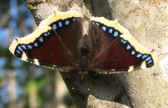 State butterly: Mourning cloak (Nymphalis antiopa)
