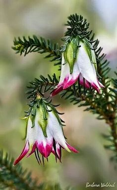 in the Dominican Republic Cranbrook bell (Darwinia meeboldii) Endemic to the south-west of Western Australia.Cranbrook bell (Darwinia meeboldii) Endemic to the south-west of Western Australia.