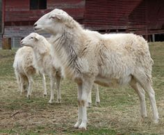 St Croix Hair Sheep