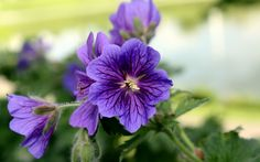 flowers, purple,