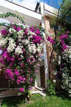 Mixed bougainvillea bushes in Playa del Carmen, Mexico