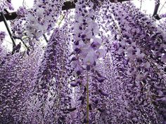 Surreal Wisteria Flower Tunnel in Japan