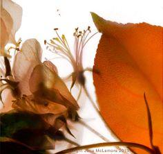 Crabapple Rose 2