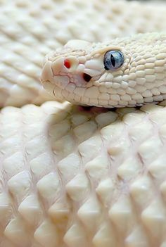 Albino snake. I've had the fortune of seeing one but the eyes were red....