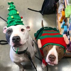 These precious pitbulls are ready to celebrate the holidays!   www.bullymake.com via: @lifewithlaker