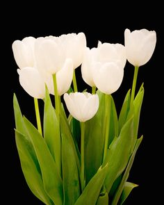 Brilliant white tulips photographed against a black backdrop.