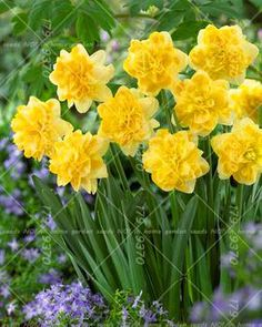 Yellow daffodil yellow daffodil meaning new beginnings regard 100pcs bonsai narcissus seedsdaffodil flower seeds absorption radiation aquatic plants double petals narcissus garden mightylinksfo