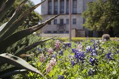 Maroon bluebonnets on campus, an A&M prank or natural phenomenon?
