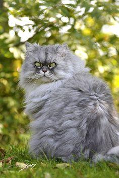 ** beautiful persian cat .