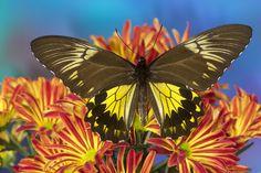Female Birdwing Butterfly from SE Asia