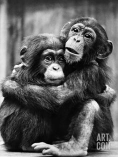 Young Chimpanzees ...So Frightened  Photographic Print at Art.com Please dont separate us.