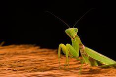 Praying Mantis by Stylianos Ambatzidis - Photo 138976077 - 500px