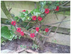 Yarn bombing my own garden, april 2014 (crochet poppies, haken)