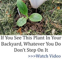 5 Medicinal Plants that My Grandmother Grew in Her Backyard - Ask a Prepper Natural Home Remedies, Natural Healing, Herbal Remedies, Health Remedies, Natural Medicine, Herbal Medicine, Wild Lettuce, Natural Antibiotics, Medicinal Plants