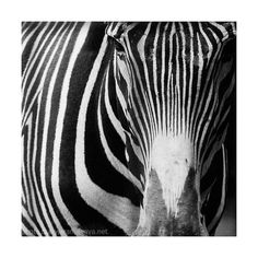 Zebra African Tribal  Fine Art Photography Print by domatoma, €10.00