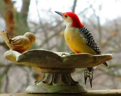 woodpecker  /  We were just looking at one of these at the feeders this morning.  Red Bellied Woodpecker
