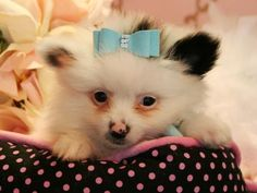 Pomeranian Teacup Puppies Store www.teacuppuppiesstore.com STORE: (954) 353-7864 #Teacup #Teacup Yorkie #teacup puppies #teacup puppies store