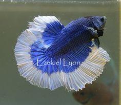 Royal Blue BF HM