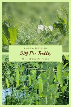 A pea trellis can be as simple or as complex as you want to make it.  But as long as it provides the support that your climbing pea plants need, then you're all set.  Check out this article where I show you how I built my pea trellis from recycling some older garden projects, and also check out the time lapse video if you're interested!  Learn more about backyard gardening at ThistleDownsFarm.com | #peatrellis #backyardgardening #diygarden #gardeningproject Gardening For Beginners, Gardening Tips, Diy Recycle, Recycling, Pea Trellis, Tower Garden, Planting Vegetables, Plant Needs, Glass Garden