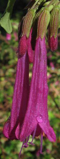 Flower-detail of Satureja multiflora [Family: Lamiaceae] - Endemic to Chile
