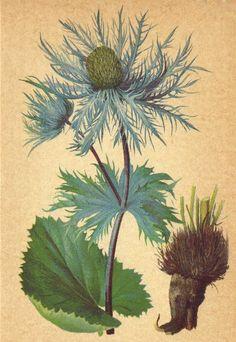 ALPENFLORA ALPINE FLOWERS Eryngium alpinum L-Alpen-Mannstreu old print 1897