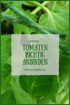Tomatenpflanzen richtig anbinden #balkon #garten #tomaten