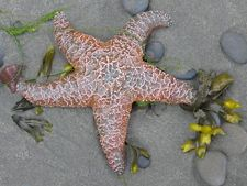 Pacific Starfish products at http://www.cafepress.com/VinnysNatureDesigns