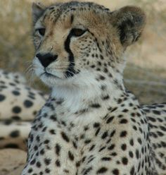 Read about cheetahs at Inverdoorn from one of our new volunteers.