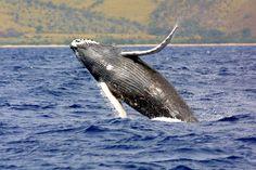 Alaska seeks removal of humpbacks from list