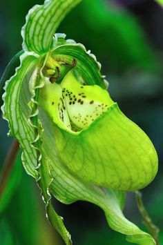 Lady Slipper Orchid - Phragmipedium, Court Jester