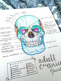 Medical Anatomy Study Guides Tips 19 Ideas Nursing School Notes, Medical School, Dental Hygiene School, Science Notes, Science Ideas, Science Projects, Life Science, Medical Anatomy, School Study Tips