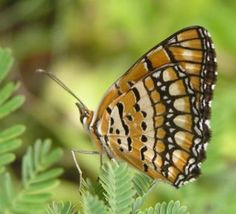 image de papillon doré - Bing Images